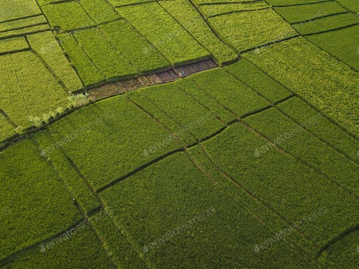 Luftaufnahme von Reisfeldern, Bali, Indonesien