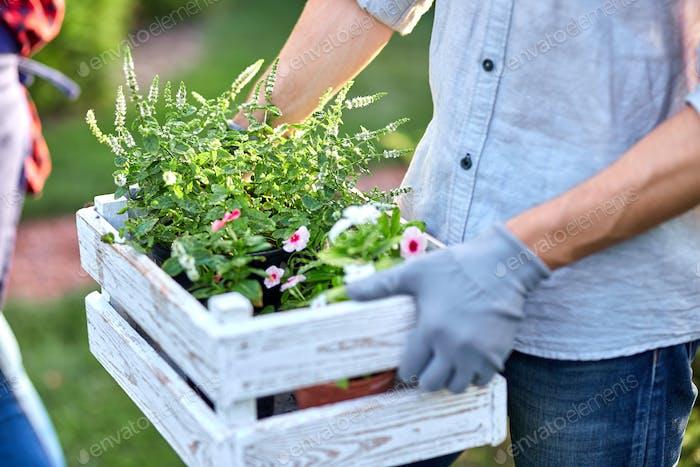 Guy Gärtner in Gartenhandschuhe hält die weiße Holzkiste mit Töpfen mit Sämlingen in den Händen im Freien