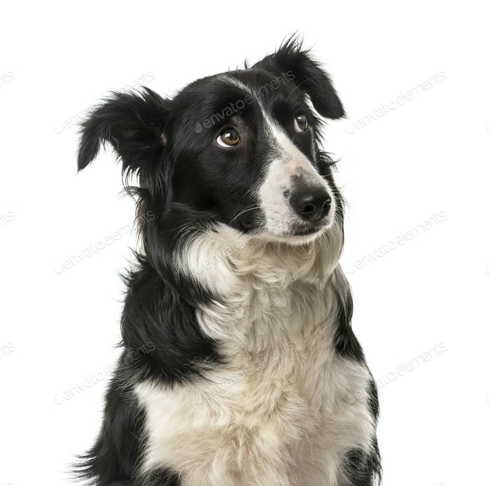 Close-up of a Border Collie in front of a white background