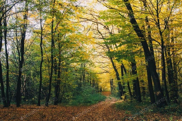 Beautiful golden trees and path way in fall leaves in sunny warm forest