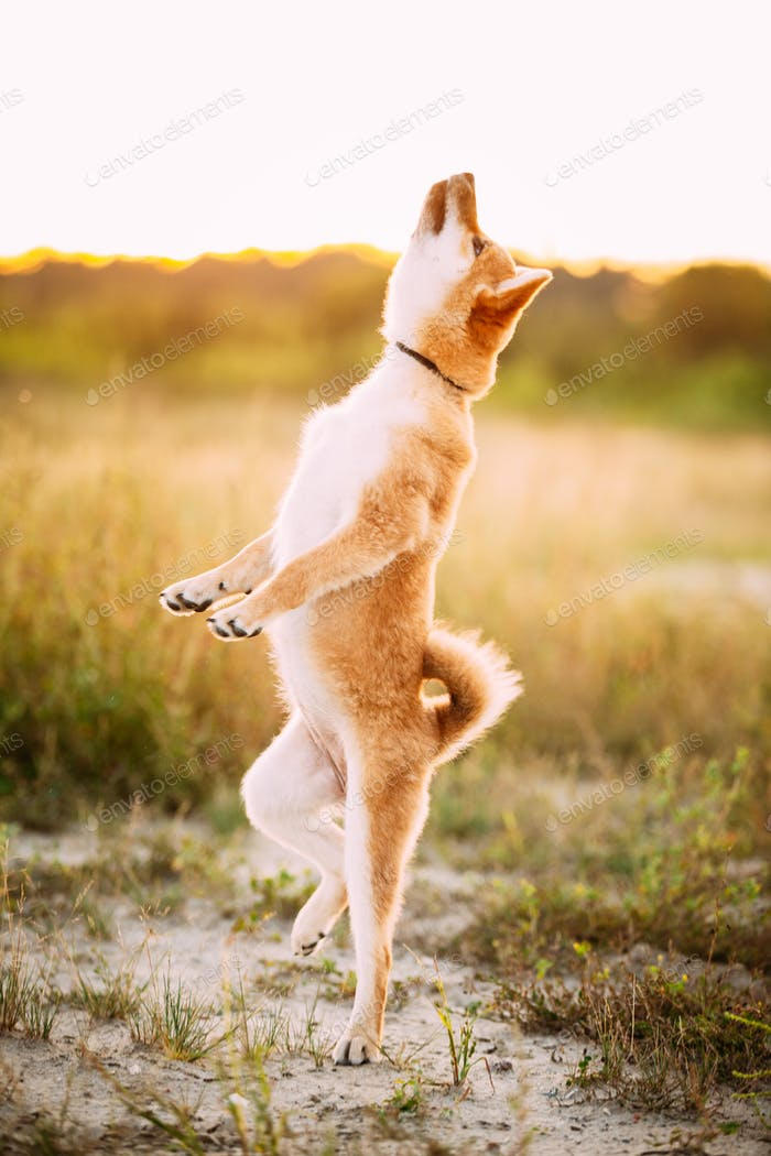 Young Red Shiba Inu Puppy Dog Jumping Outdoor During Sunset.