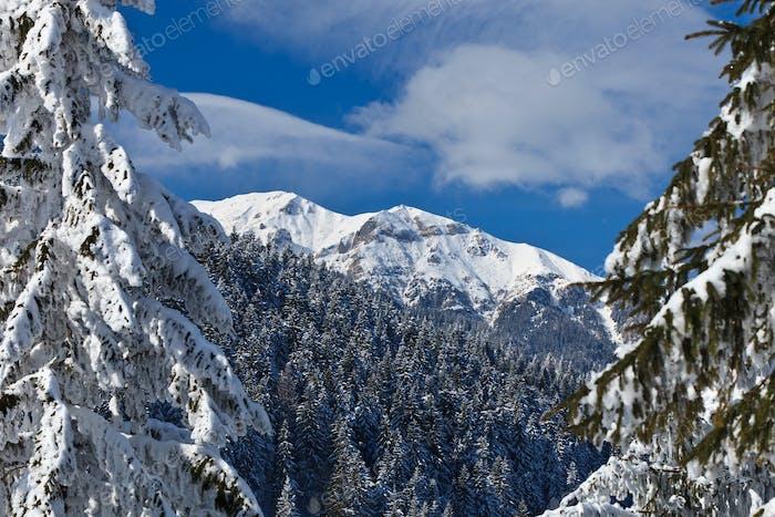 Kiefernwald im Winter