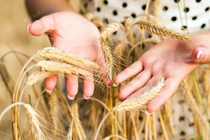 Spikelets of yellow green barley in the hands in the summer in the field . Time to autumn and