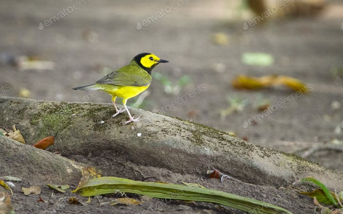 Hooded Warbler Male in Belize