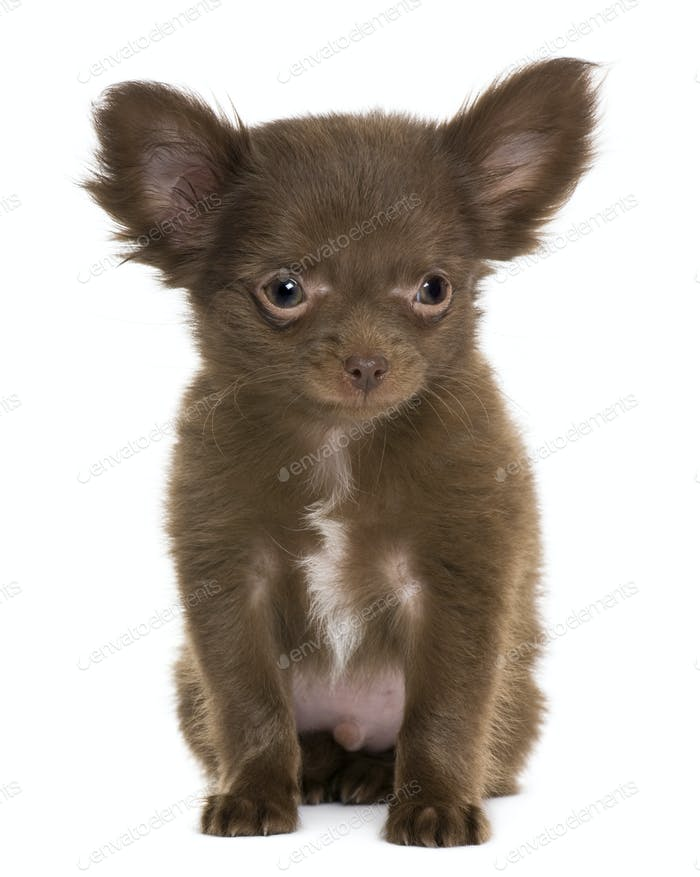 Chihuahua puppy, 5 months old, in front of white background