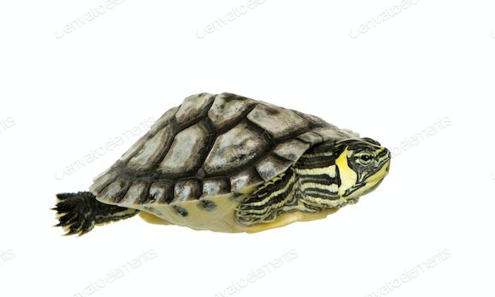Schildkröte - Trachemien