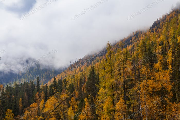 Autumn landscape in the mountains with golden larches. Canada
