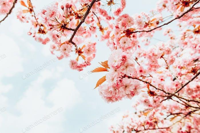 Sakura flowers, cherry blossom