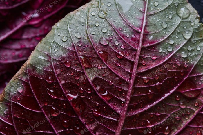 Water drops on the red amaranth leaves