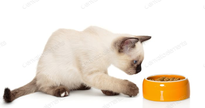 Small Siamese kitten and food bowl