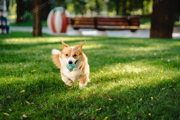 Welsh corgi enjoy his toy on the lawn