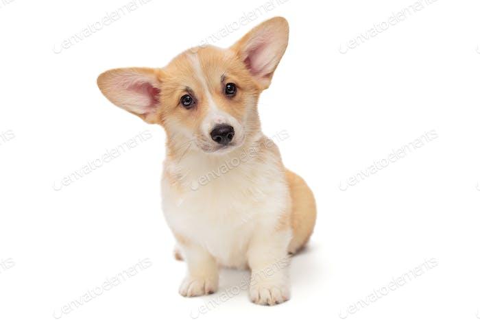Cute Pembroke Corgi Cachorro