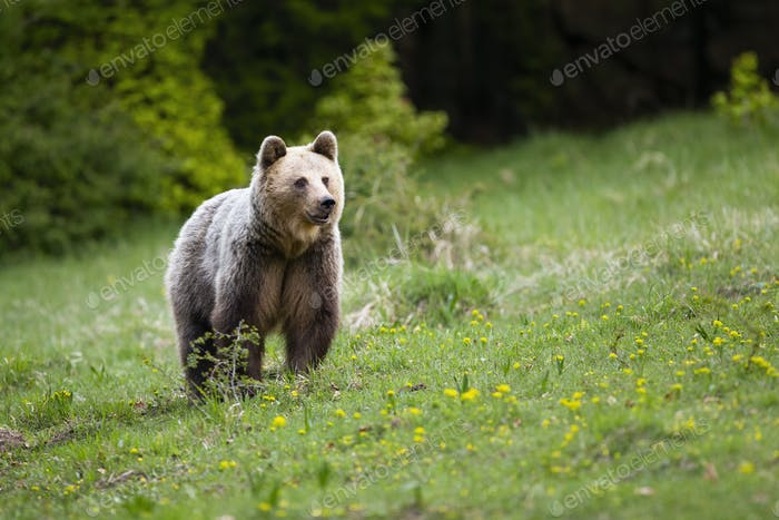 Adult brown bear watching around on slope covered with green grass in spring