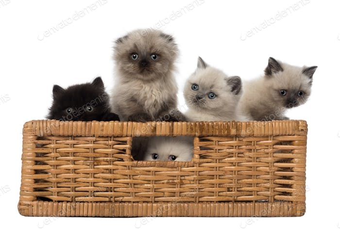 Portrait of British Shorthair Kittens in basket against white background