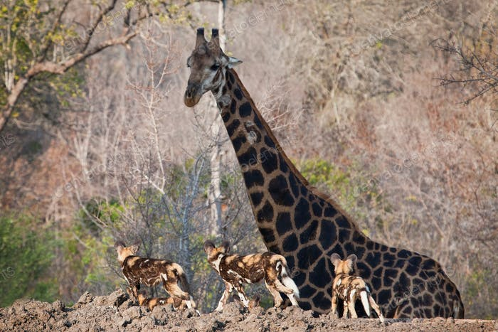 Three African wild dog, Lycaon pictus, walk in the foreground and look at a giraffe, Giraffa
