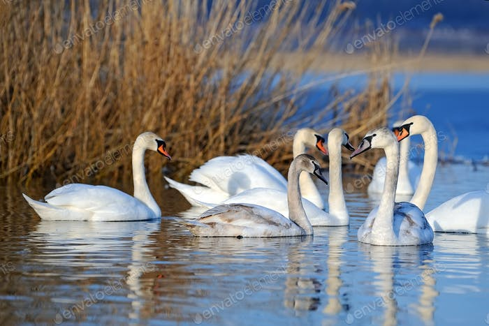 Group of white swans swimming in water