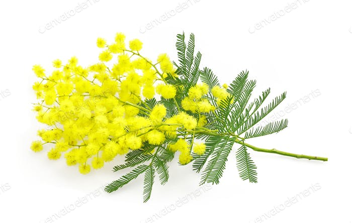 Wattle flower or mimosa branch, symbol of 8 march, women interna