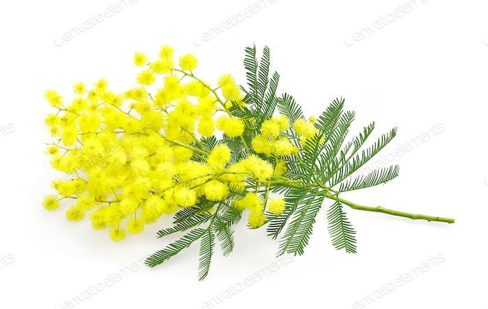 Flechtblume oder Mimosenzweig, Symbol des 8. März, Frauen interna