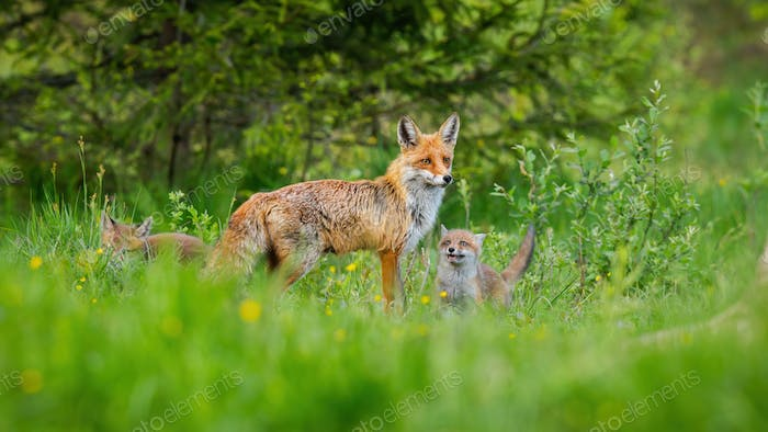 Little red fox cubs playing around their protective mother on green meadow