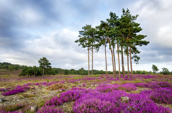 Summer Heather and Pine Trees