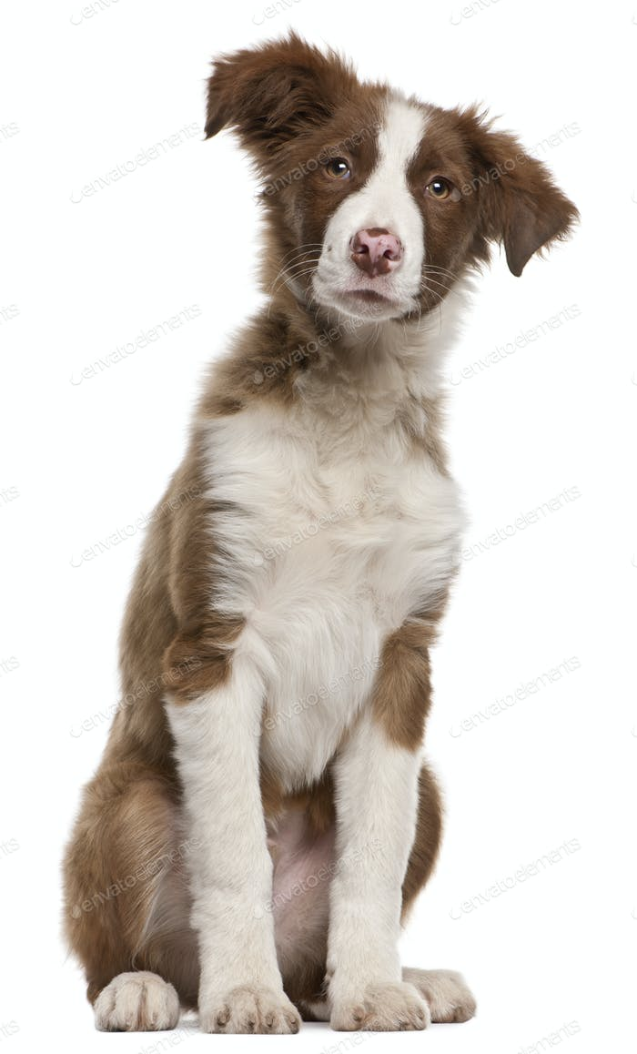 Border Collie puppy (5 months old)