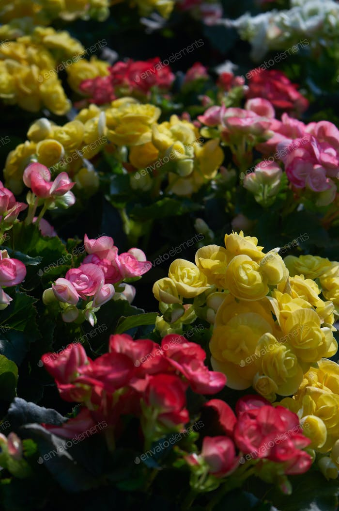 The colorful begonia flowers in the garden