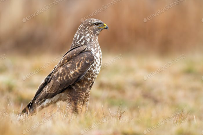 Alert common buzzard standing on dry grass and looking aside with copy space