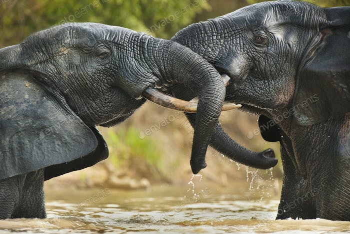 Elephant bulls fighting in the water in Mole National Park, Ghana., in an agressive confrontation.