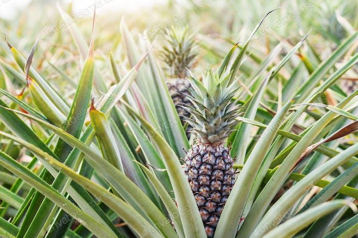 Pineapple on tree in summer