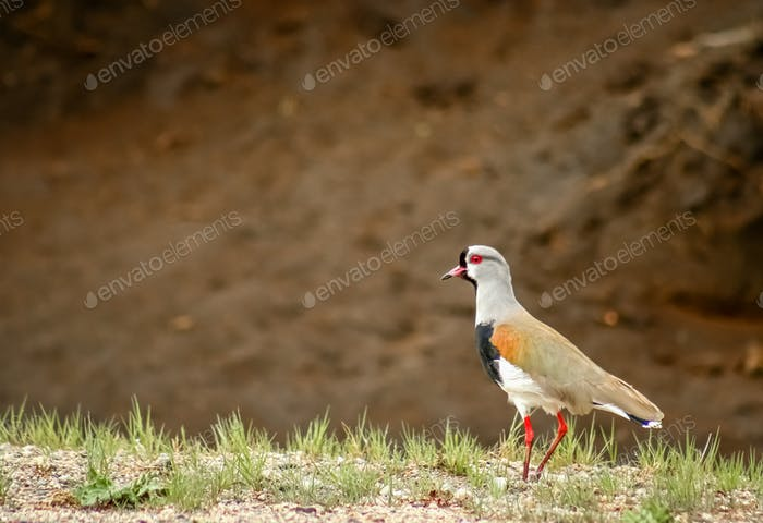 Tero bird called also southern lapwing