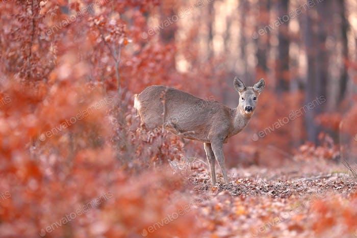 Roe deer doe standing in orange forest in autumn nature