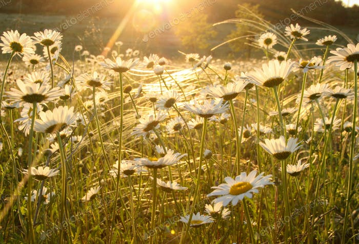 Lush blossom daisy flowers background. Summer flower field.