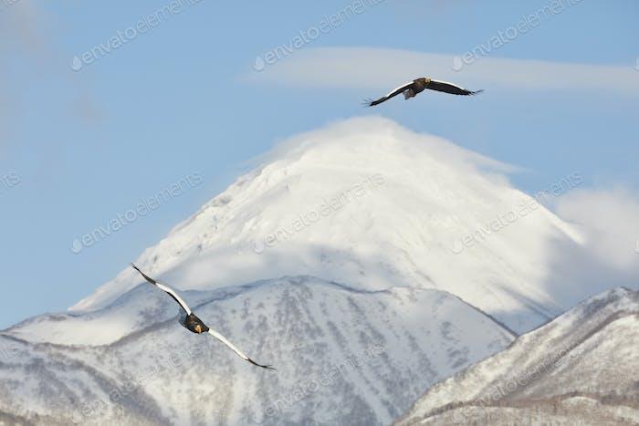 Steller's Sea Eagle (Haliaeetus pelagicus) mid-air, winter.