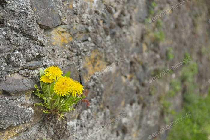 Dandelions In Medieval Rock Wall