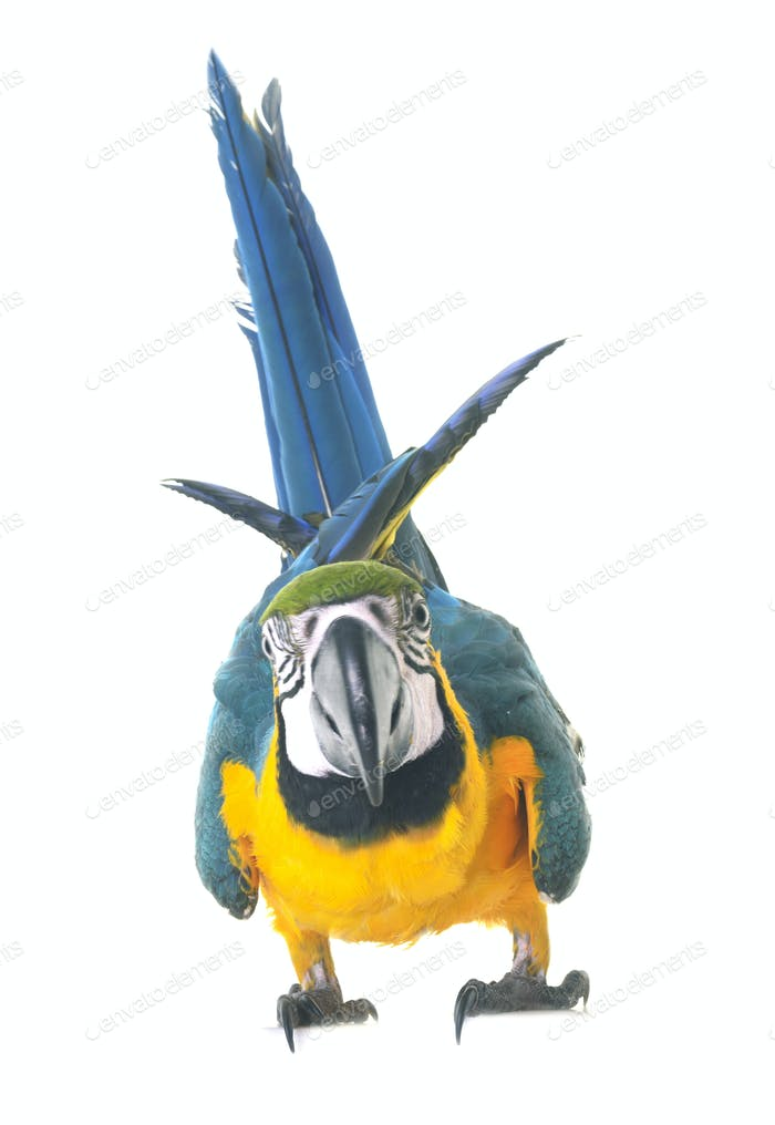 Blue-and-yellow macaw in studio