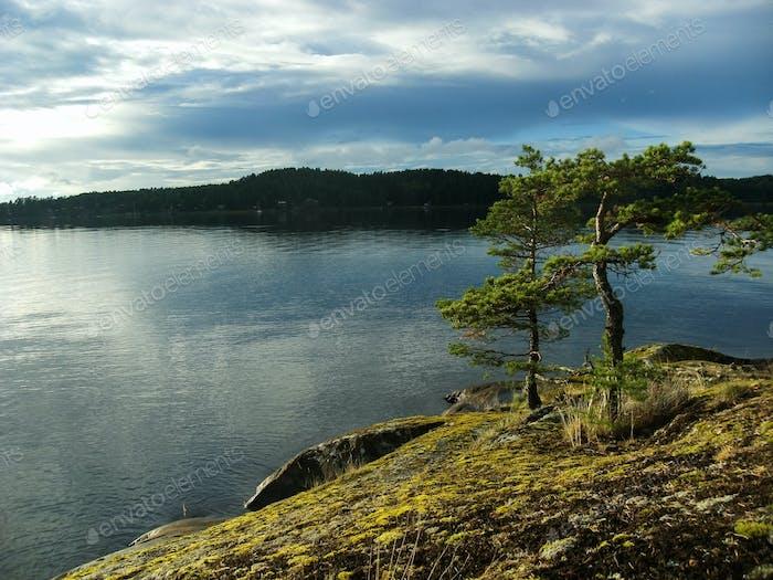 Pine trees, Alsen / Askersund coast