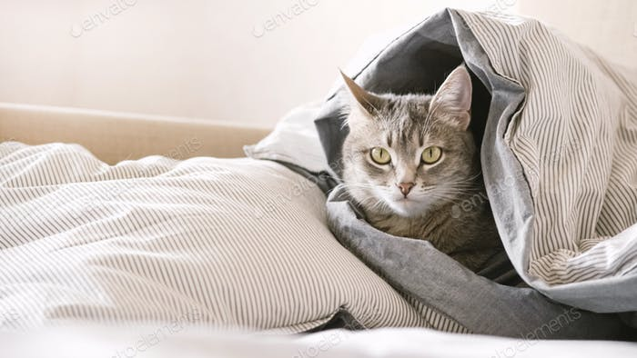 A domestic tabby gray cat lies on the bed, wrapped in a blanket.