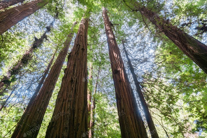 Redwood forest, Pescadero Creek County Park, San Francisco bay, California