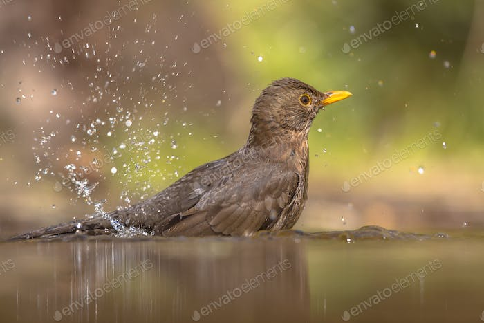 Bathing Female Blackbird