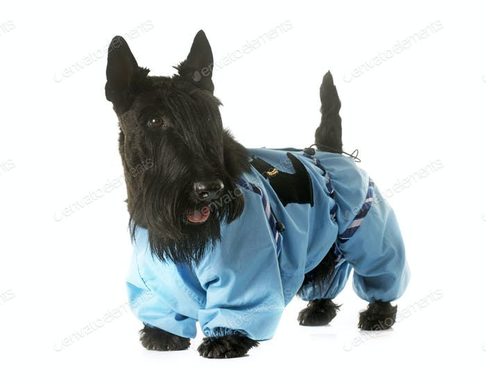 dressed scottish terrier
