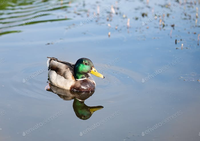 Wild young beautiful duck on the lake.