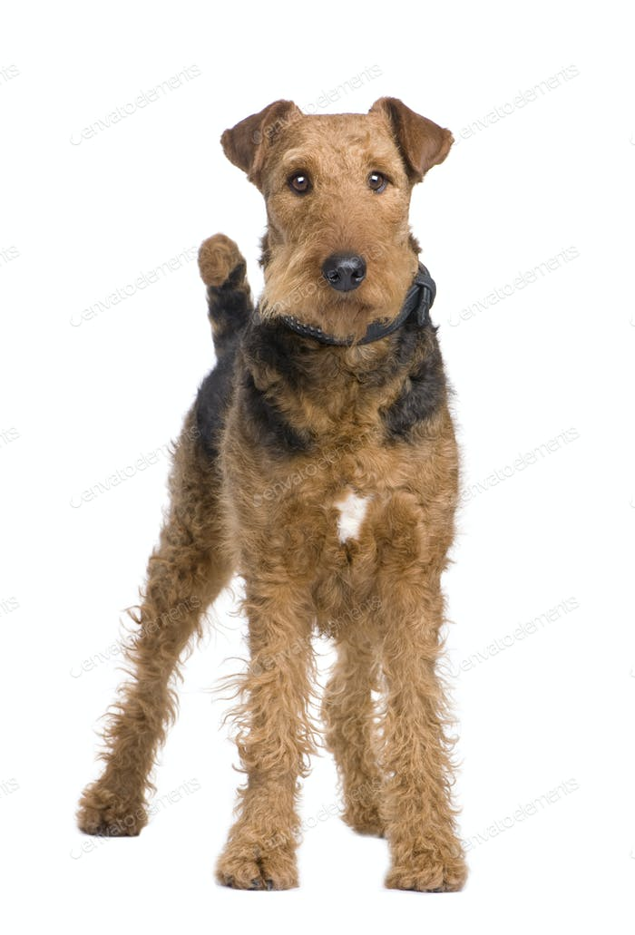 Airedale Terrier (2 years)