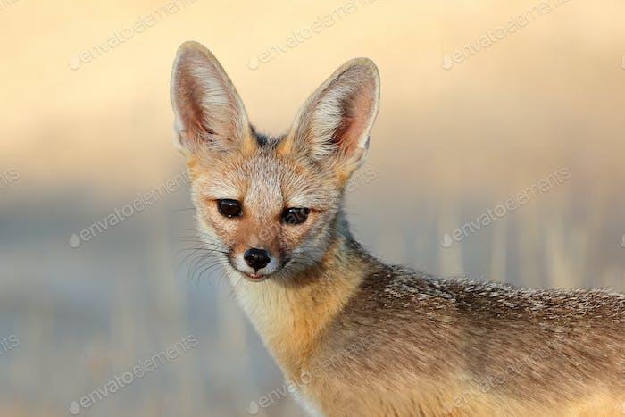Cape fox portrait