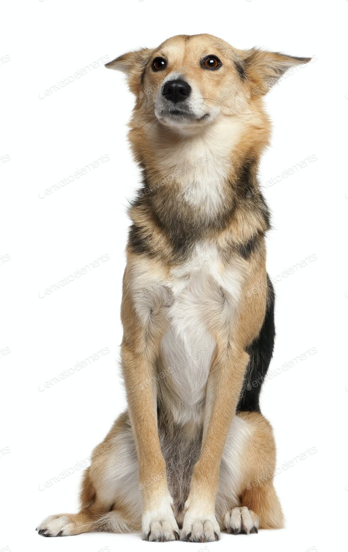 Mixed-breed, 3 years old, sitting in front of white background