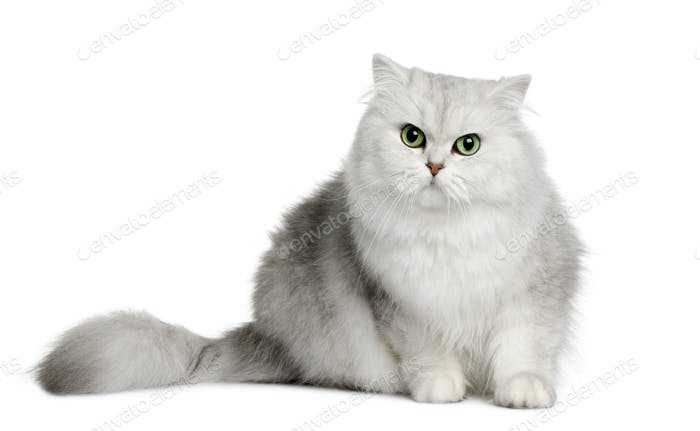 British longhair cat, 3 years old, sitting in front of white background