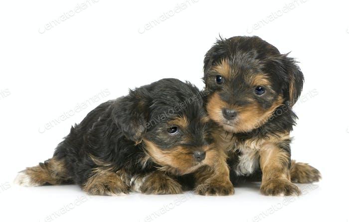 Yorkshire Terrier Puppies (1 month)
