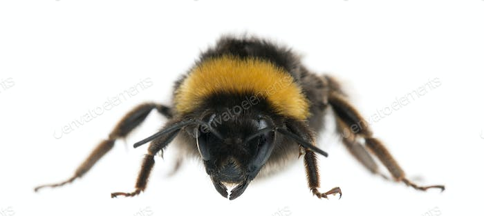 Bumblebee, Bombus sp., in front of white background