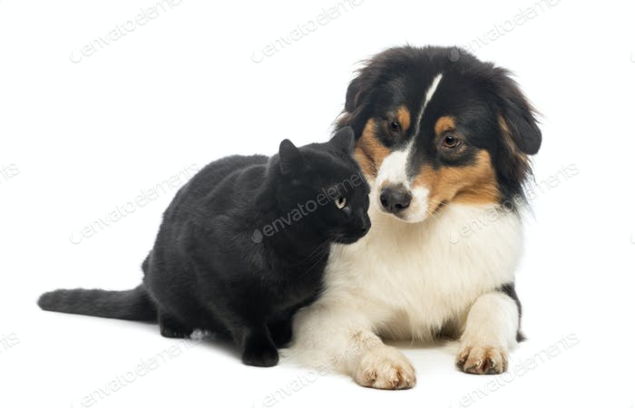 Australian Shepherd lying and looking at a Black Cat, isolated on white