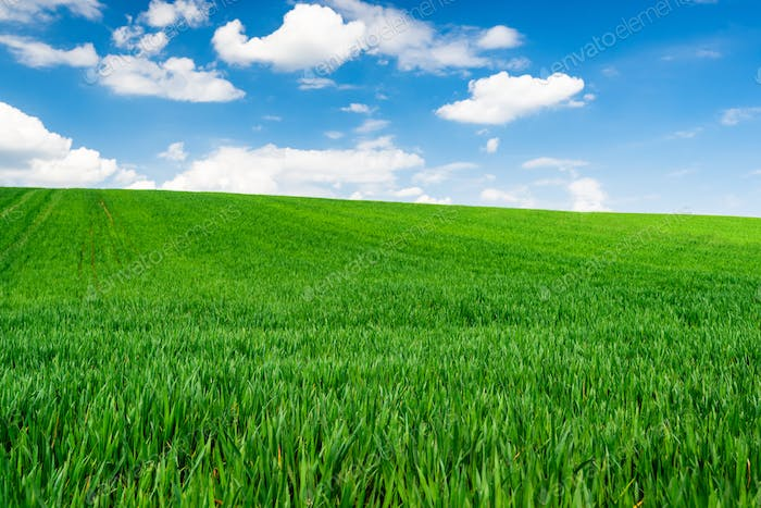 Green Wheat or Grass and Blue Sky with Clouds. Farmland or Countruside Rural  Landscape