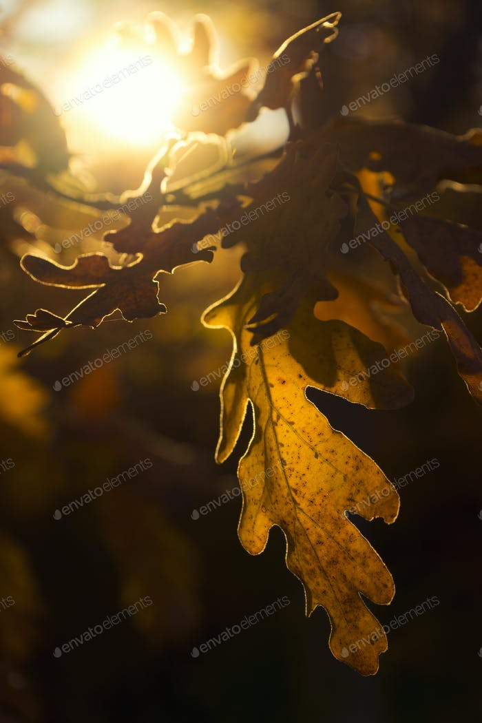 Autumnal oak leaves in sunlight